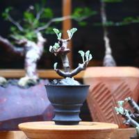 ペラルゴニム  ミラビレ/Pelargonium mirabile   no.101013