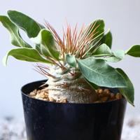 パキポディウム   ナマクアナム  光堂  Pachypodium namaquanum  no.1114-3