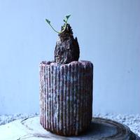 ペラルゴニウム  トリステ    Pelargonium triste   no.121510