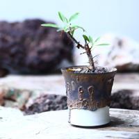 フォークイエリア   プルプシー × ファシクラータ 挿し木    Fouquieria purpusii × fasciculata   no.010
