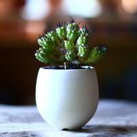 ユーフォルビア  紅彩閣  Euphorbia enopla  no.70513