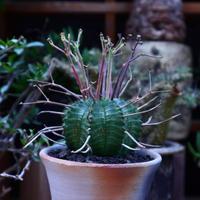 ユーフォルビア  バリダ/Euphorbia valida    no.60610