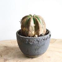 ユーフォルビア  メロフォルミス   no.001  Euphorbia  meloformis