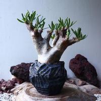 パキポディウム  イノピナツム    Pachypodium Inopinatum  no.003