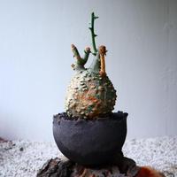 アデニア  グロボーサ    no.011   Adenia globosa