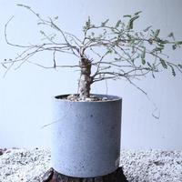 オペルクリカリア  パキプス × ヒファエノイデス     Operculicarya  pachypus × hyphaenoides    no.120163
