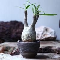 パキポディウム グラキリス  Pachypodium   gracilius  no.013
