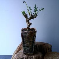ペラルゴニウム   カルノーサム   Pelargonium carnosum  No.012
