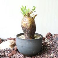 パキポディウム   ビスピノーサム   no.006   Pachypodium bispinosum