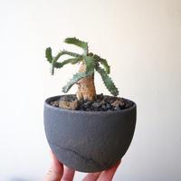 ユーフォルビア ステラータ   no.008   Euphorbia stellata
