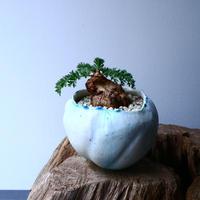 ペラルゴニウム  トリステ    Pelargonium triste No.010