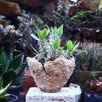 パキポディウム  恵比寿大黒   Pachypodium  Densicaule    no.42524