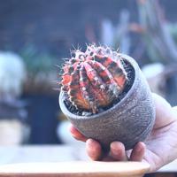 ギムノカリキウム   緋牡丹錦  接木     Gymnocalycium friedrichii f. variegata   no.22819