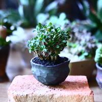 ユーフォルビア   花キリン  八房性   Euphorbia milii  no.81603