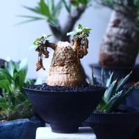 ユーフォルビア  プリムリフォリア  Euphorbia primulifolia  no.61412