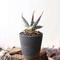 アガベ  ユタエンシス    エボリスピナ     no.009  Agave uthaensis var. eborispina
