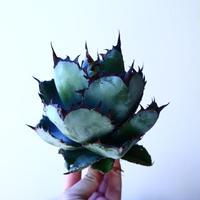 アガベ チタノタ ブラック&ブルー Agave titanota black&bule   no.41201