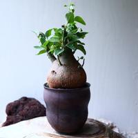 アデニア   スピノーサ   Adenia     spinosa    no.71428