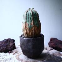 ユーフォルビア  オベサ    Euphorbia obesa no.102740