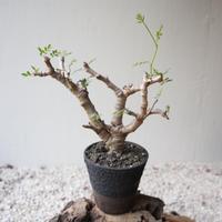 センナ  メリディオナリス   no.101420