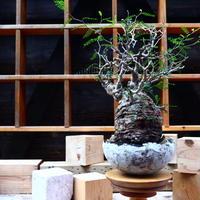 オペルクリカリア  パキプス/Operculicarya  pachypus     no.80844