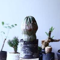 ユーフォルビア  オベサ    Euphorbia obesa no.90618