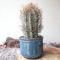 アストロフィツム   カプリコルネ   大鳳玉   no.004   Astrophytum capricorne