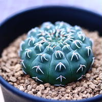 ギムノカリキウム  瑞昌玉  Gymnocalycium stellatum var. kleinianum   no120604