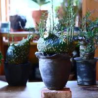 アデニア  グロボーサ      Adenia globosa       no.81658