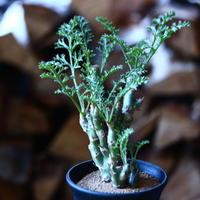 ペラルゴニウム カルノーサム Pelargonium carnosum  no.111591