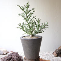 ユーフォルビア ステノクラーダ   no.002   Euphorbia stenoclada