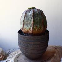 ユーフォルビア  オベサ ♀    Euphorbia obesa   no.40717