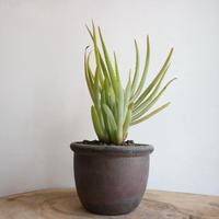 アロエ   リネアータ    no.001    Aloe lineata