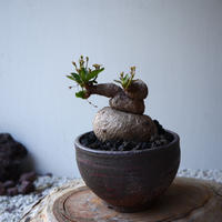 ユーフォルビア   ラノイラ   Euphorbia.sp nova Ranohira  no.42110