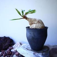ユーフォルビア  プリムリフォリア  Euphorbia primulifolia  no.52618