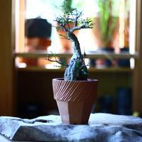 オペルクリカリア  パキプス     Operculicarya  pachypus   no.70503