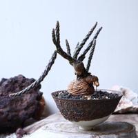 プテロカクタス ツベローサス   黒竜     Pterocactus tuberosus   no.91523