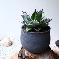 アガベ チタノタ 〝ブラックアンドブルー〟   no.019   agave titanota