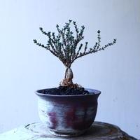 トリコディアデマ     デンスム   紫星晃    ×    Trichodiadema densum   no.11909