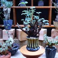 ぺラルゴ二ウム   エキナツム/Pelargonium  lechinatum   no.70431