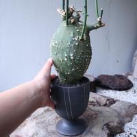 アデニア  グロボーサ      Adenia globosa       no.112414