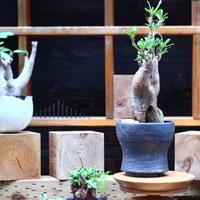 パキポディウム  サキュレンタム    Pachypodium Succulentum  no.82942