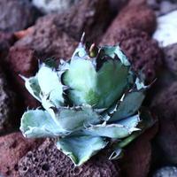 アガベ チタノタ ブラック&ブルー Agave titanota black&bule   no.30847
