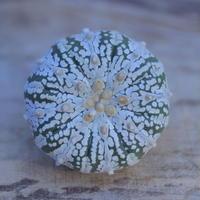 アストロフィツム   スーパー兜 抜き苗  Astrophytum asterias 'Super Kabuto'      no.207/2
