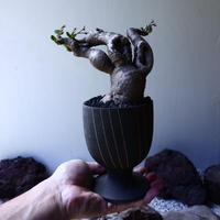 ユーフォルビア ラノヒラ   Euphorbia sp.ranohira  no.61619
