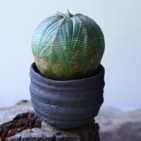 ユーフォルビア  オベサ ♀  Euphorbia obesa no.51928