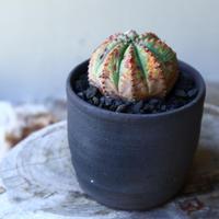 ユーフォルビア  バリダ  hyb   Euphorbia valida  hyb   no.60201