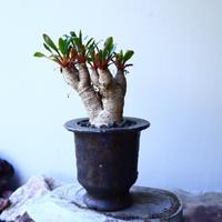 ユーフォルビア sp. フィッシュボーン   Euphorbia sp. nov. fishborn no.52614