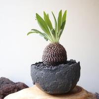 ユーフォルビア    鉄甲丸    no.004    Euphorbia bupleurifolia