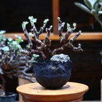 ペラルゴニム  ミラビレ/Pelargonium mirabile   no.91928